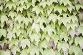 Discolored leaves — Stock Photo