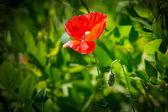 在草丛中的罂粟 — 图库照片