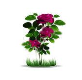 束红玫瑰 — 图库照片