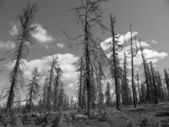 The death of forest from wildfire. Monochrome landscape. — Stock Photo
