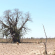 Stock Photo: Western Australia, Great sandy desert, dry baobab.