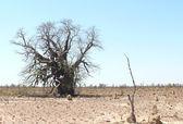 Western Australia, Great sandy desert, dry baobab. — Stock Photo
