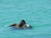 EXMOUTH, WESTERN AUSTRALIA - NOVEMBER 25: Amorous plays between gigantic turtles, November 25, 2007 in Exmouth Western Australia — Stock Photo