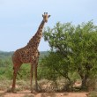 Africa. Kenya. Photo of the giraffe in savannah. — Stock Photo