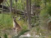 Light kangaroo sits in thick wood. Western Australia, near Perth. — Stock Photo