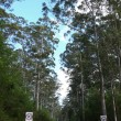 Very high eucalyptus wood with road. Western Australia, near Albany. — Stock Photo