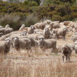 Famous australian sheep with the most rich wool in world. South Australia near Ceduna. — Stock Photo #13697101