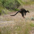 Stock Photo: Australia, Victoria, Great Ocean Road. Jumping black kangaroo.