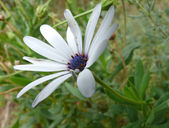 Blue-white flower, macro photo. Western Australia, near Perth. — Stock Photo