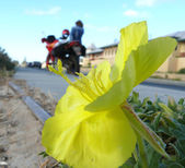 The Photo of the beautiful yellow flower on background of the motorcycle with girl, Macro. Western Australia. — Stock Photo