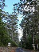 Very high eucalyptus wood with road. Western Australia, near Albany. — Stock Photo