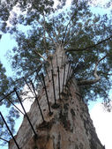 Eucalyptus 62 metres by height with stairway and observation platform. Western Australia, Pemperton. — Stock Photo
