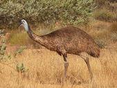 Ostrich. — Stock Photo