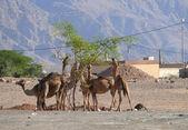 Landscape nature. Desert, camels. Journey to Jordan. — Stock Photo