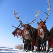 Reindeers in harness. National holiday. — стоковое фото #37185661