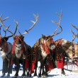 National holiday. Reindeers in harness. — стоковое фото #37185755