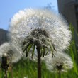 Stock Photo: Taraxacum officinale flowers close up.