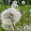 Stock Photo: Taraxacum officinale, flowers close up.
