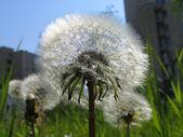 Taraxacum officinale flowers close up. — Stock Photo