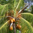 Foto Stock: Palm tree with coconuts close-up. Background.