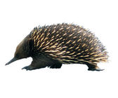 Echidna crosses road on a white background. — Stock Photo