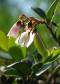 Vaccinium vitis-idaea. Lingonberry flowers closeup. — Stock Photo