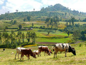 Africa, Ethiopia. Landscape nature. Pasture. Cows eat grass. — Stock Photo