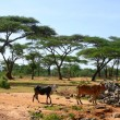 Ethiopian cows in nature. Landscape nature. Africa, Ethiopia. — Stock Photo