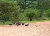 Dzierzba perliczki. Samburu. (acryllium vulturinum). — Zdjęcie stockowe