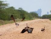 Uno stormo di avvoltoi. natura del paesaggio. africa, kenya. — Foto Stock