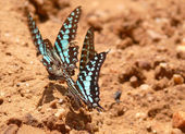 Varios coloridas mariposas multicolores. tanzania, africa. — Foto de Stock