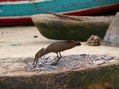 The fish market. Bird peck fish lying on the counter. Tanzania,  — Stok fotoğraf