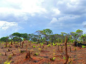 The scenery after the fire. Charred stumps. Africa, Mozambique. — Stock Photo