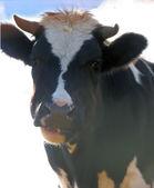 Cow farm animal. — Stock Photo