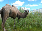 Zoo in the city of Nadym. Camel on the grass. — Stock Photo