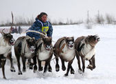 NADYM, RUSSIA - MARCH 16, 2008: Racing on deer during holiday of — Stock Photo