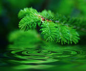 Macro young fir-tree — Stock Photo