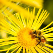 Bee on Yellow Daisy — Stock Photo