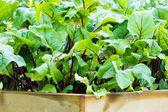 Organic Beetroot Garden — Stock Photo