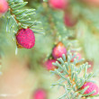 Baby Red Pine Cones - Stock Photo