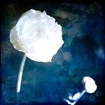 White Flowers on Blue — Stock Photo