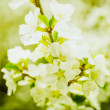 ������, ������: Artistic Spring Apple Blossoms