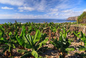 Banana plantation on the coast of Tenerife with ocean view, — Stock Photo