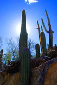 Saguaro National Park — Stock Photo
