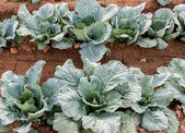 Rows young cabbage — Stock Photo