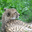 Cheetah — Stock Photo #12792700