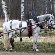 Horse in harness — Stock Photo #12795335