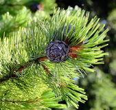 Pine cones, cedar cones — Stock Photo