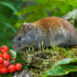 Red vole — Stock Photo #13822435