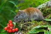 Red vole — Stock Photo